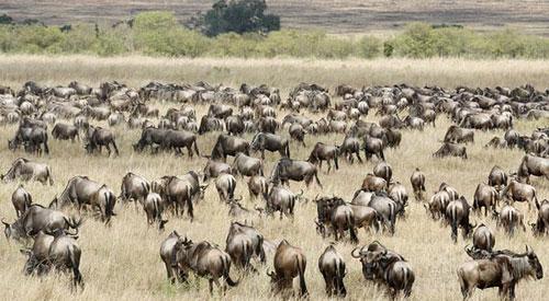 wildebeest-demosh-cc