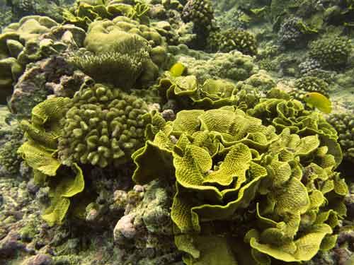 palmyra-corals