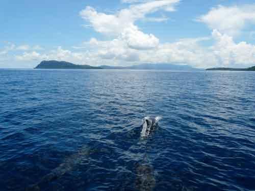 tetepare-rendova-dolphins-forground