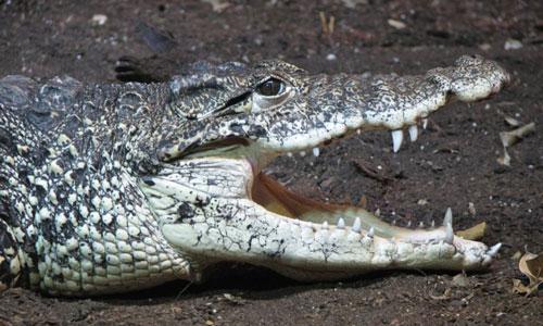 cuban_crocodile_trishamshears-publicdomain