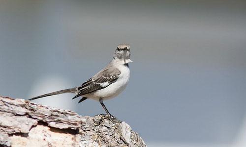 northern-mockingbird-omarrun-cc