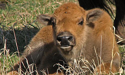 bison-calf