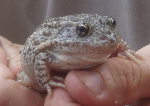 gopher-frog