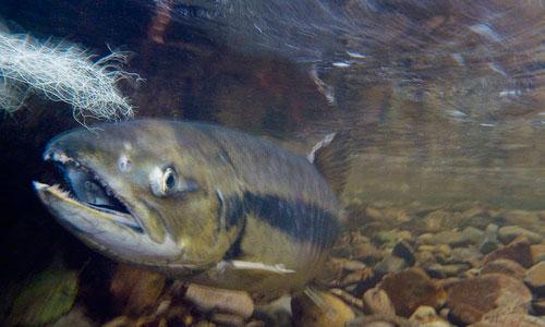 salmon-bbesaw
