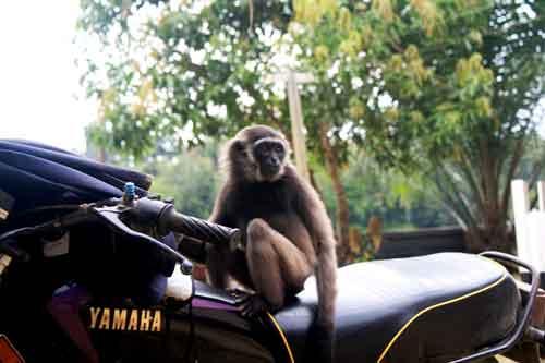 Anton-Nurcahyo-TNC-West-Kalimantan-Gibbon