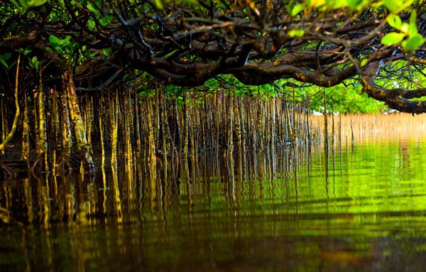 chrissy_adaptation_mangroves