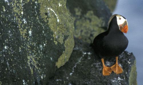 puffin-solo