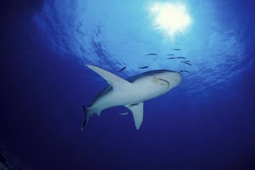 Silvertip Shark near Kimbe Bay (Franco Banfi - www.banfi.ch)