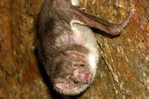 vampire-bat-cc