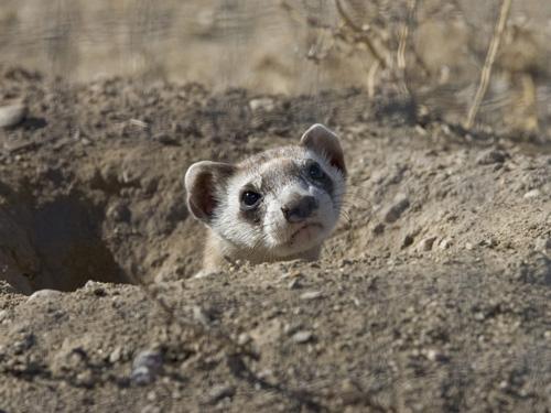 Black footed-ferret