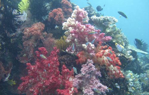 Soft corals at Jef Pele