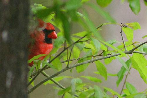 Peeking cardinal