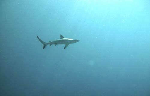 Grey reef shark at Warakareket