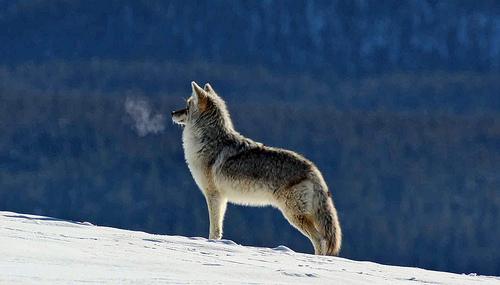 Coyote Breath