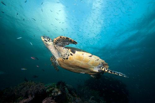 Hawksbill Turtle Soars above the reef in Rinca Island, Indonesia