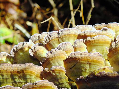 Nature Photo of the Week: Turkey Tail Mushroom