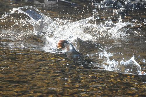 Pink salmon migrating upstream to spawn in Twelvemile Creek
