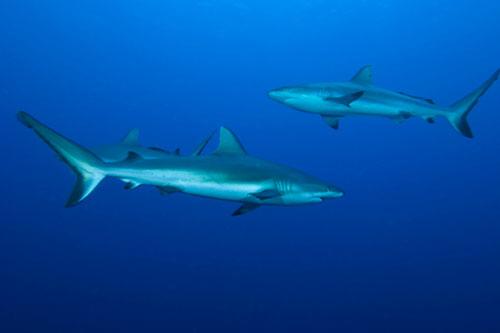 Grey Reef Sharks (Carcharninus amblyrhynchos)
