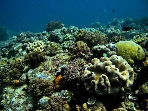 Sarcophyton coral