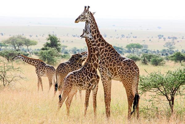 Nature Photo of the Week: Giraffe Love