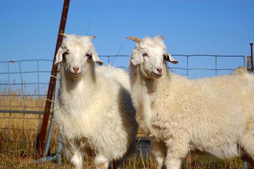 Australian cashmere goats, ©Paul Esson